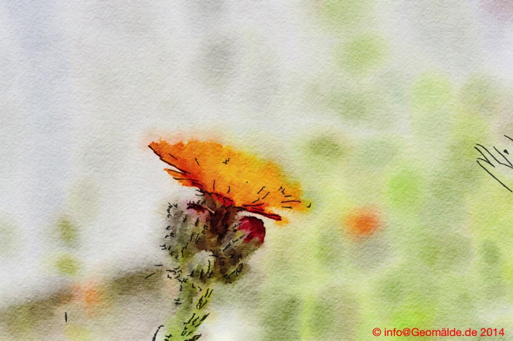 Orangerotes Habichtskraut, Hieracium aurantiacum